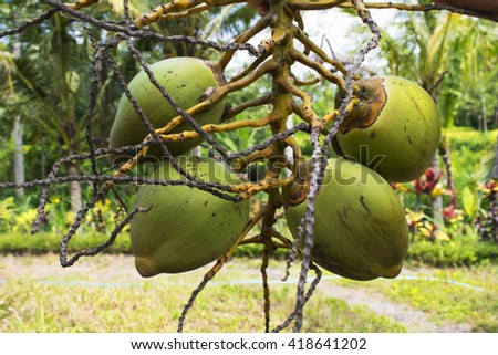 Picked the fruits of coconut from the palm tree  - stock photo