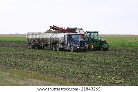 Picking and loading sugar beets in truck - stock photo