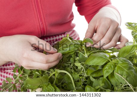 Picking basil from the wicker with herbs - stock photo