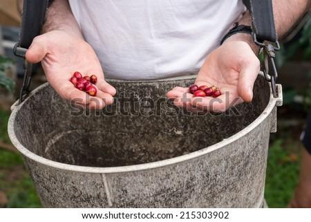 Picking coffee cherries. - stock photo