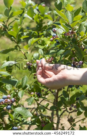 Picking of blueberries - stock photo
