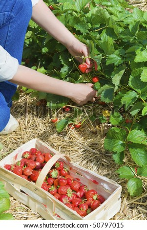 picking  of fresh organic  strawberry in the field - stock photo