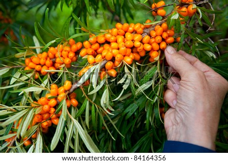 Picking ripe and healthy sea-buckthorn berries