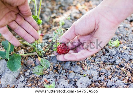 Picking strawberries.Healthy and fresh food.