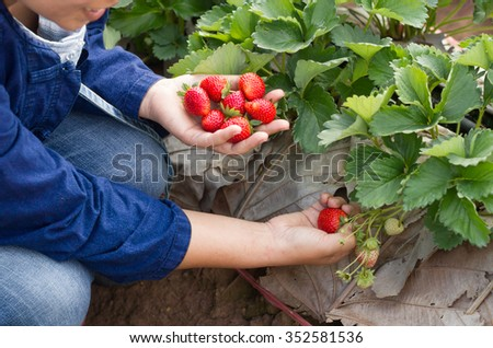 Picking strawberry in garden. - stock photo