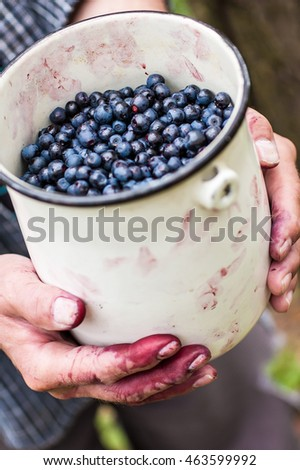Picking the blueberries in the forest.