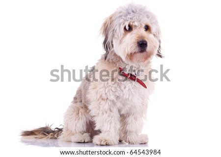 picture of a Bearded Collie in front of a white background - stock photo