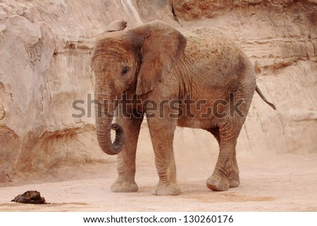 picture of a beautiful african elephant
