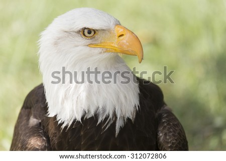 picture of a beautiful bald eagle
