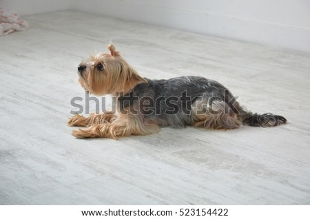 Picture of a beautiful purebred dog breed Yorkshire Terrier, made in studio