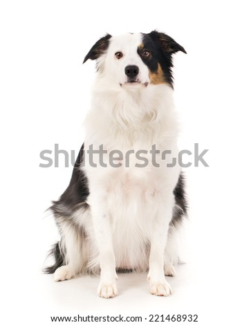 Picture of a border collie on a white background - stock photo