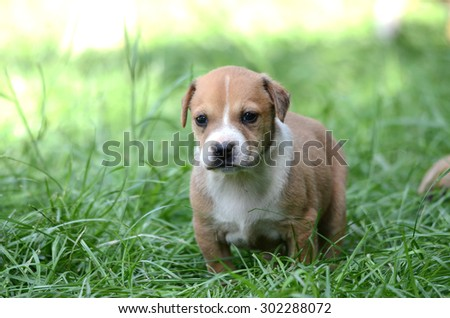 Picture of a Cute amstaff puppy. One month old.  - stock photo