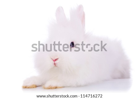 picture of a cute white fluffy rabbit looking at the camera, on white background - stock photo