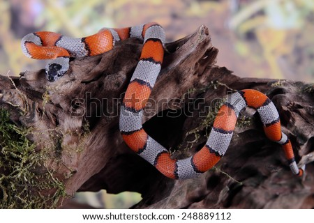 picture of a false coral snake - stock photo