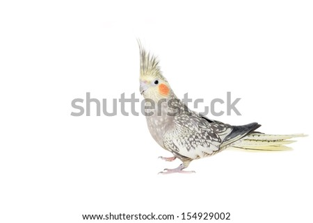 """Picture of a female cockatiel with """"pearl"""" colour mutation isolated on white. - stock photo"""