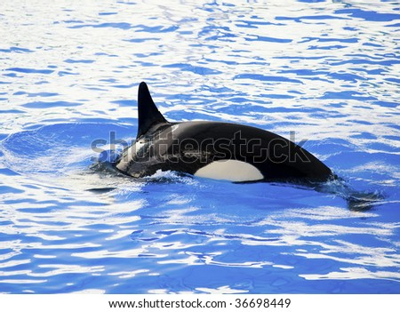 Picture of a killer whale in the water - stock photo
