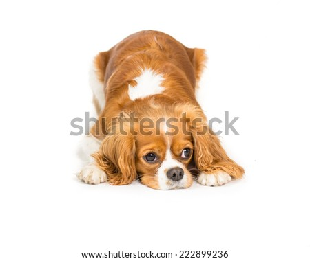 Picture of a King Charles Cavalier Laying on a white background with head down - stock photo