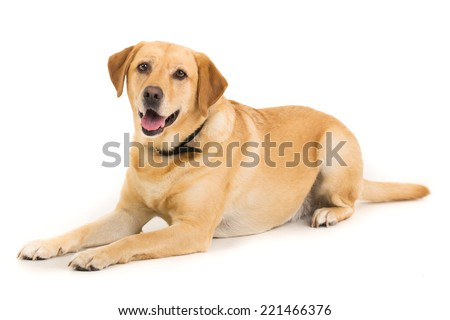Picture of a Labrador on a white background  - stock photo