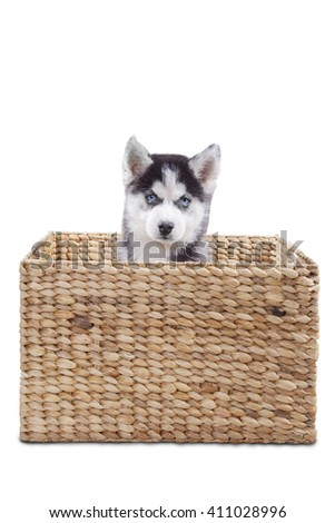 Picture of a little siberian husky dog sitting inside the wooden box at the studio, isolated on white background - stock photo