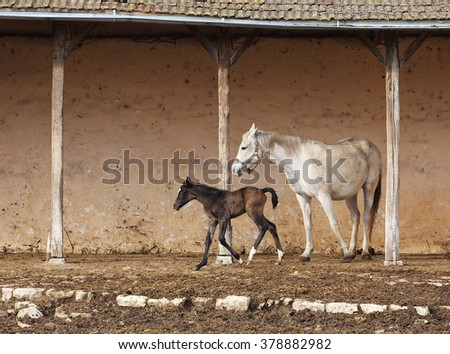 picture of a mare with her foal  - stock photo