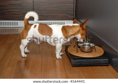 Picture of a nice little brown and white dog eating its food in the kitchen - stock photo