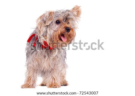 picture of a panting small yorkshire terrier standing up on a white background - stock photo
