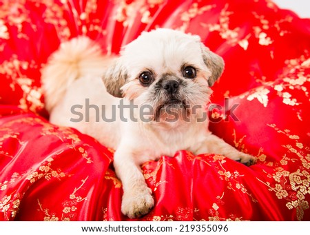 Picture of a pekingese puppy on a red cloth with a china pattern