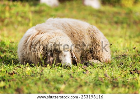 Picture of a sheep sleeping on a meadow in autumn - stock photo