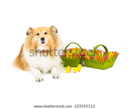 Picture of a shetland sheepdog sitting next to easter baskets - stock photo