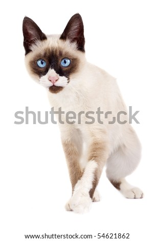 picture of a siamese cat ready to attack over white - stock photo