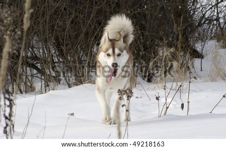 Picture of a siberian husky in a steppe landscape - stock photo