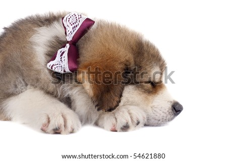 picture of a sleeping bucovinean shepard puppy over white , wearing a nice neck-bow - stock photo