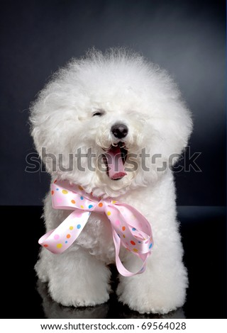 picture of a sleepy bichon frise on a black background - stock photo