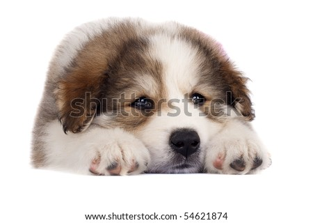 picture of a sleepy bucovinean sheperd puppy standing on a white background - stock photo