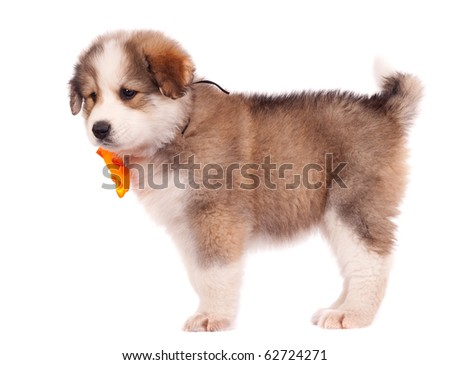 picture of a small bucovinean shepard puppy over white - stock photo