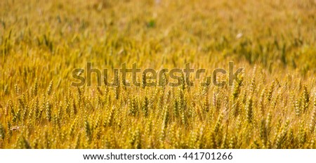 Picture of a Wheat field in june - stock photo