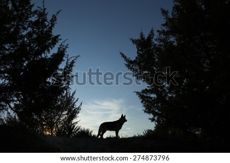 Picture of a wolf dog at dusk. - stock photo