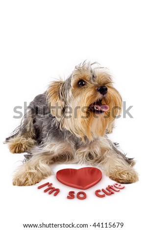 picture of a yorkshire terrier with a 3d heart saying he's so cute - stock photo
