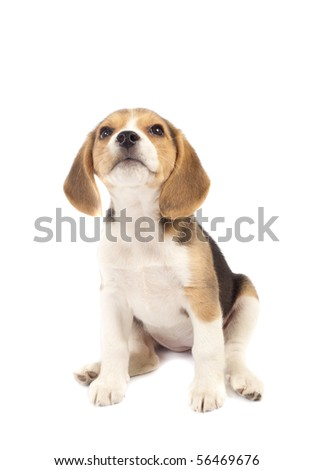 Picture of Beagle puppy looking to the top - stock photo