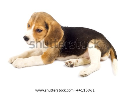 Picture of Beagle puppy looking to to a side looking sad - stock photo