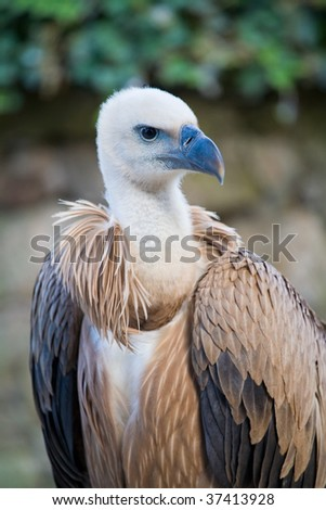 Picture of big vulture staring in camera - stock photo