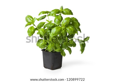 Picture of fresh basil plant in a plastic pot on white background. - stock photo