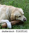 Picture of labrador retriever playing with a piece of log - stock photo