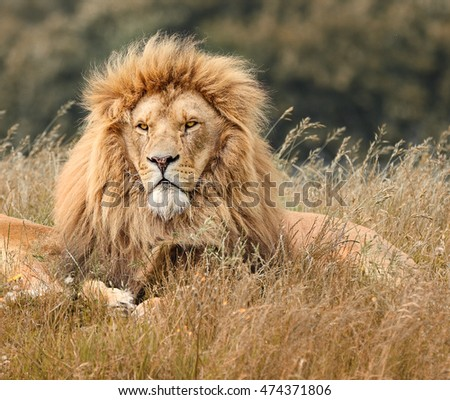 picture of lions in grass