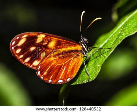 Picture of orange-spotted Tiger Clearwing butterfly, Mechanitis polymnia, Costa Rica wild nature, beautiful insect with colorful wings on green leaf in the forest, magnificent fauna, mexican animal - stock photo