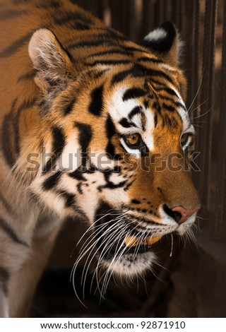 picture of Tiger  of high-res with an artistic background