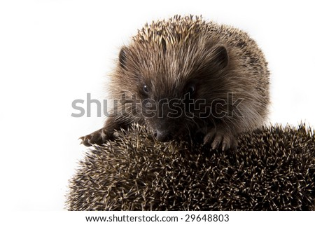 Picture of two hedgehogs on a white background - stock photo