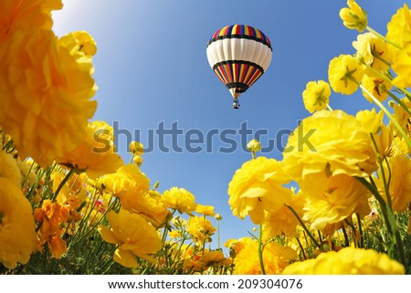 Picturesque field of beautiful yellow buttercups. In a clear sky flying multicolored balloon. Spring in Israel - stock photo