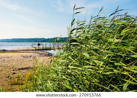 Picturesque landscape with thicket reeds on seashore - stock photo