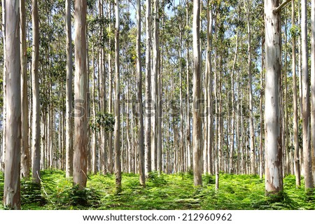 Picturesque nature rural landscape with eucalyptus forest.                             - stock photo